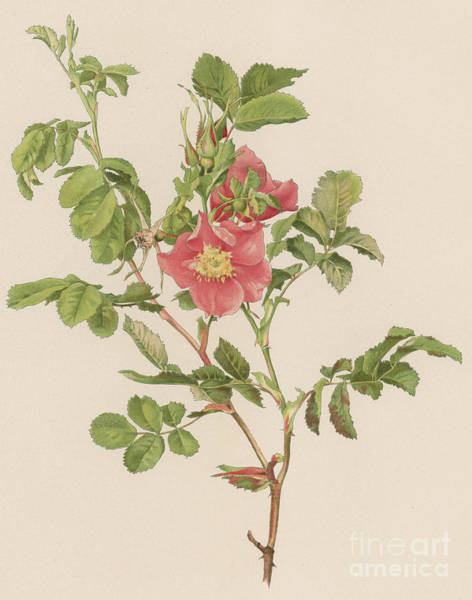 Wall Art - Painting - Rosa Cinnamomea The Cinnamon Rose by English School