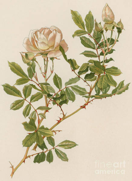 Wall Art - Painting - Rosa Clinophylla by English School