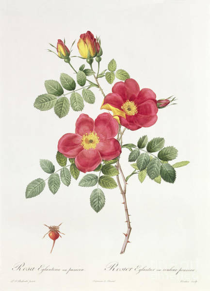 21st Wall Art - Drawing - Rosa Eglantera Punicea by Pierre Joseph Redoute