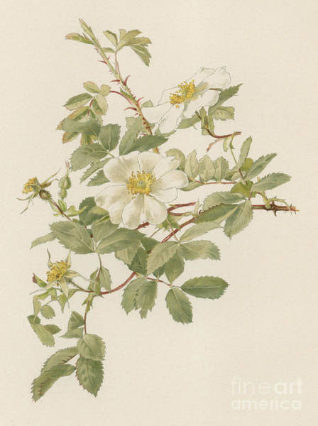 Wall Art - Painting - Rosa Fedtschenkoana by English School