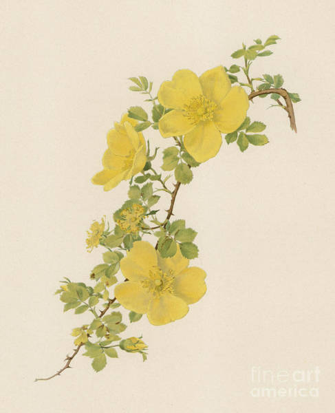 Wall Art - Painting - Rosa Foetida by English School