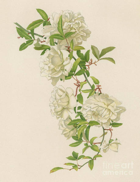 Wall Art - Painting - Rosa Fortuniana by English School