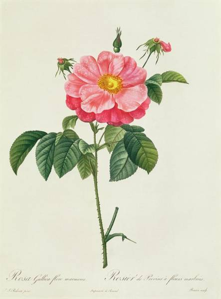 Stalk Drawing - Rosa Gallica Flore Marmoreo by Pierre Joseph Redoute