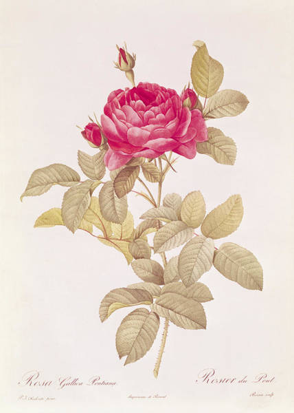 Rosebud Wall Art - Drawing - Rosa Gallica Pontiana by Pierre Joseph Redoute