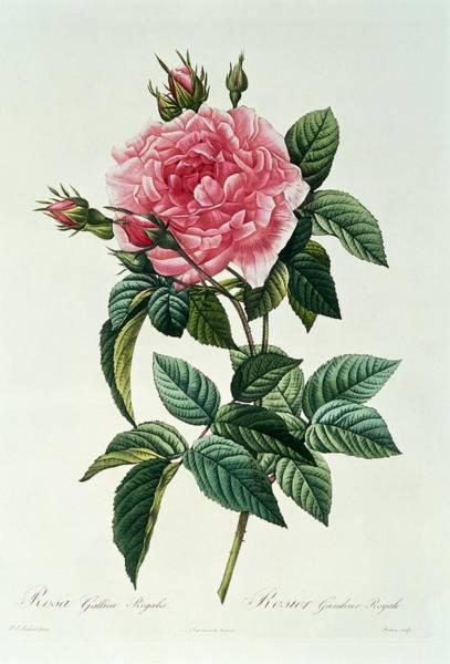 Stalk Drawing - Rosa Gallica Regalis by Pierre Joseph Redoute