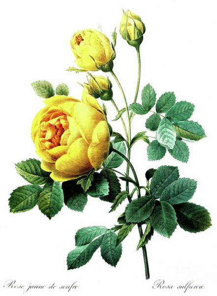 Wall Art - Painting - Rosa Hemisphaerica, Also Known As The Sulphur Rose by Pierre Joseph Redoute