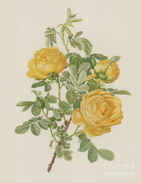 Wall Art - Painting - Rosa Hemisphaerica by English School
