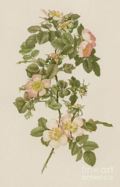 Wall Art - Painting - Rosa Hibernica by English School