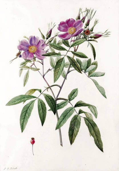 Rosa Hudsoniana Salicifolia Art Print