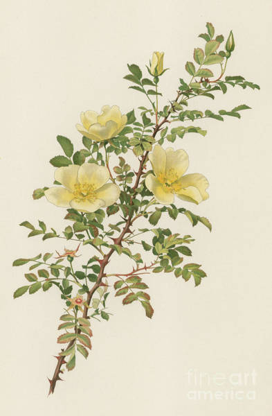 Wall Art - Painting - Rosa Hugonis by English School