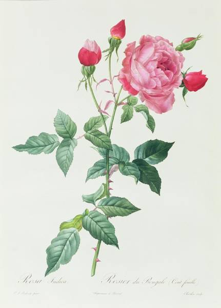 Stalk Drawing - Rosa Indica by Pierre Joseph Redoute