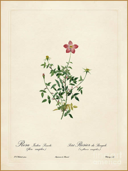 Painting - Rosa Indica Pumila by Celestial Images