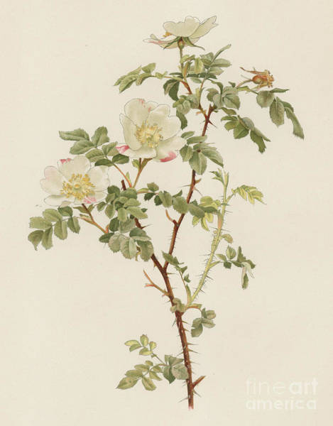 Wall Art - Painting - Rosa Involuta by English School