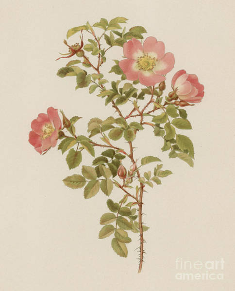 Wall Art - Painting - Rosa Involuta Var Wilsoni by English School
