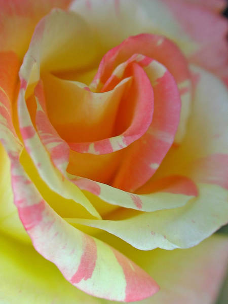 Photograph - Rosa by Juergen Roth