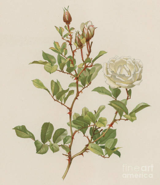 Wall Art - Painting - Rosa Laevigata Bracteata by English School