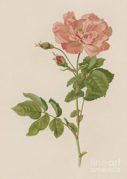Wall Art - Painting - Rosa Lheritieranea The Boursault Rose by English School