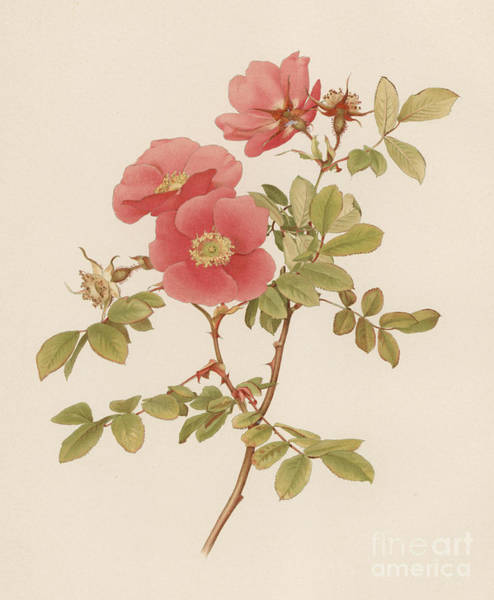 Wall Art - Painting - Rosa Macrophylla by English School