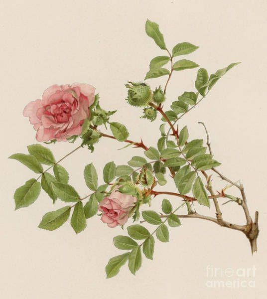 Wall Art - Painting - Rosa Microphylla by English School