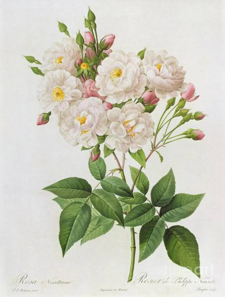 21st Wall Art - Painting - Rosa Noisettiana by Pierre Joseph Redoute