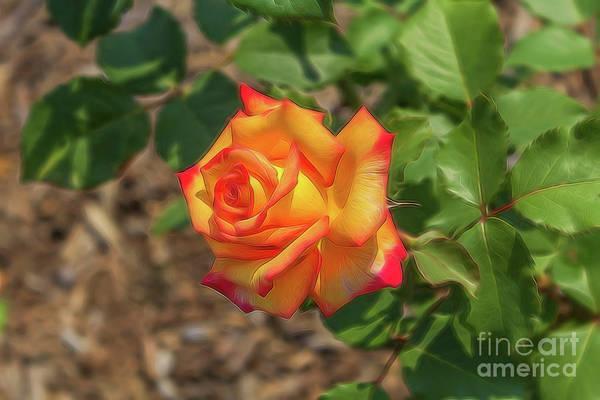 Photograph - Rosa Peace by Jim Lepard