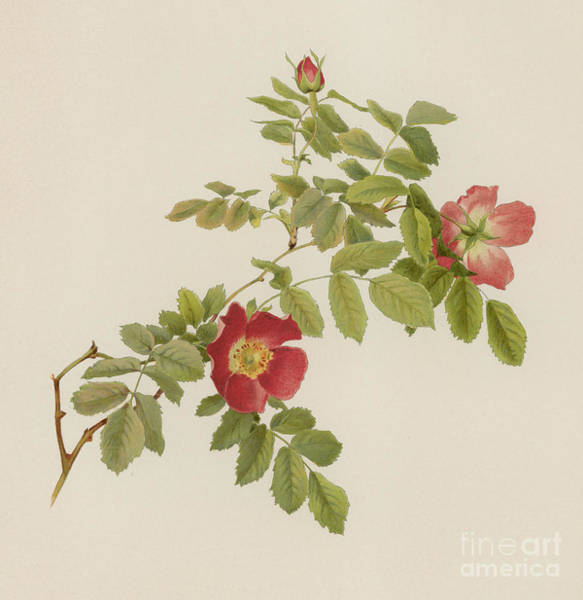 Wall Art - Painting - Rosa Pendulina by English School