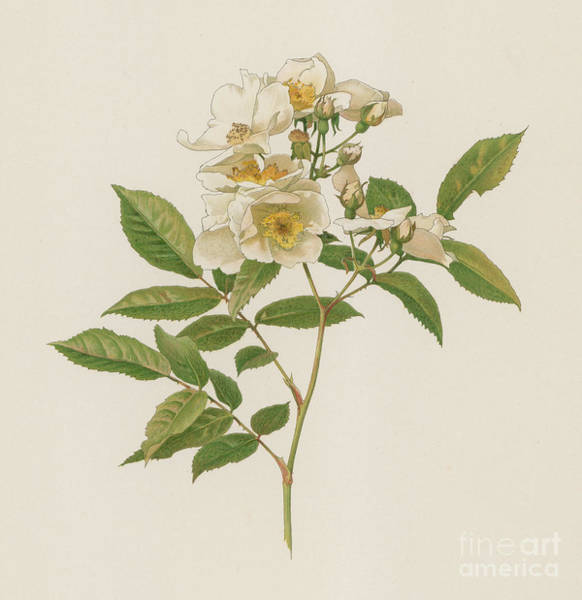 Wall Art - Painting - Rosa Polyantha Grandiflora by English School