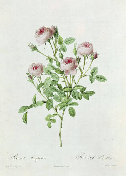 Rosebud Wall Art - Painting - Rosa Pomponia by Henri Joseph Redoute