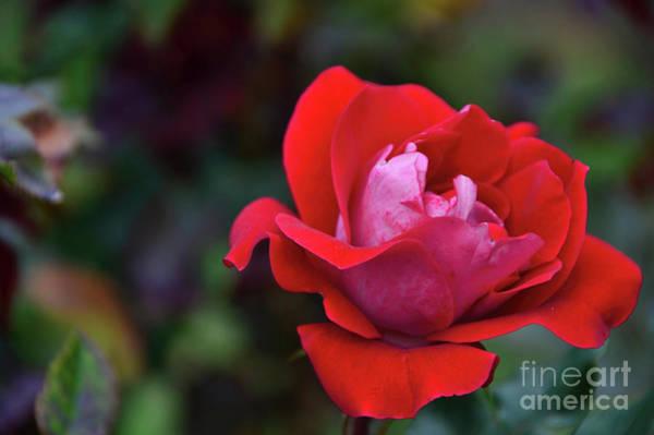 Photograph - Rosa Roja Para Ti by Diana Mary Sharpton