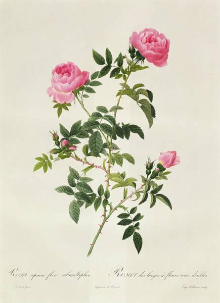 Rosa Sepium Flore Submultiplici Art Print