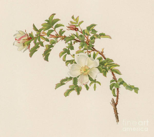 Wall Art - Painting - Rosa Spinosissima by English School