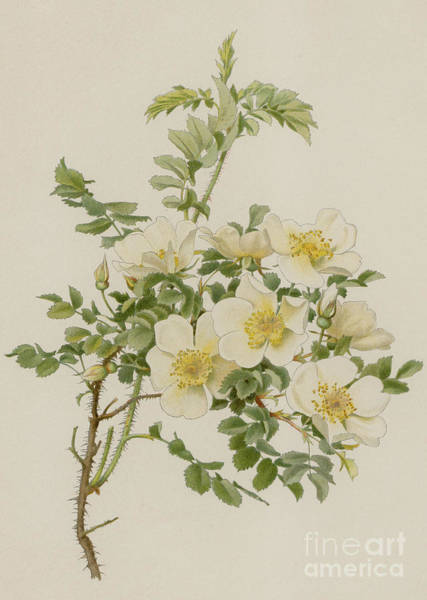 Wall Art - Painting - Rosa Spinosissima Var Altaica by English School