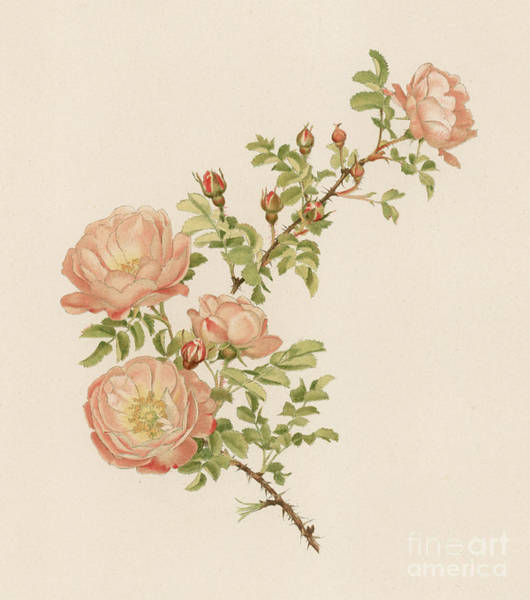 Wall Art - Painting - Rosa Spinosissima Var Andrewsii by English School