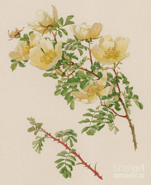 Wall Art - Painting - Rosa Spinosissima Var Hispida by English School