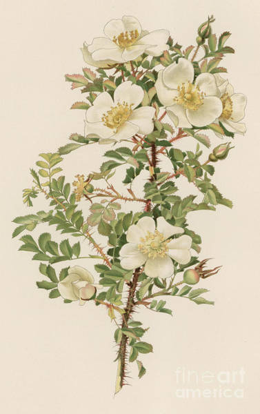 Wall Art - Painting - Rosa Spinosissima Var Myriacantha by English School
