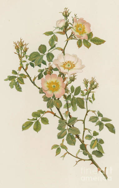 Wall Art - Painting - Rosa Stylosa by English School
