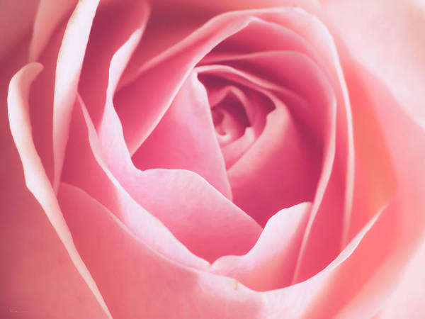 Wall Art - Photograph - Rosa by Wim Lanclus