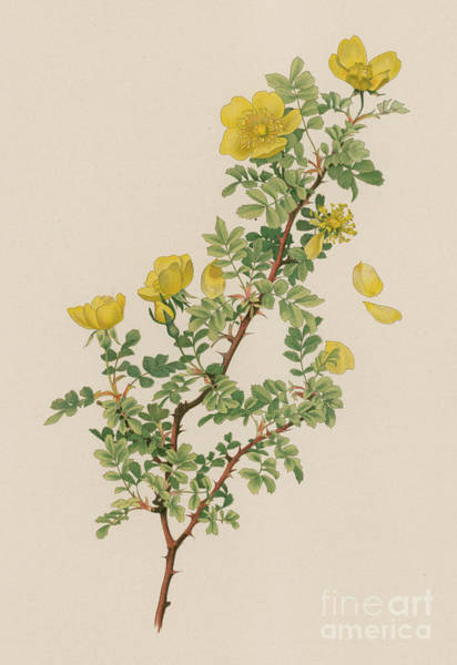 Wall Art - Painting - Rosa Xanthina by English School