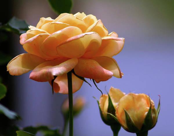 Rose 1156 H_2 Art Print