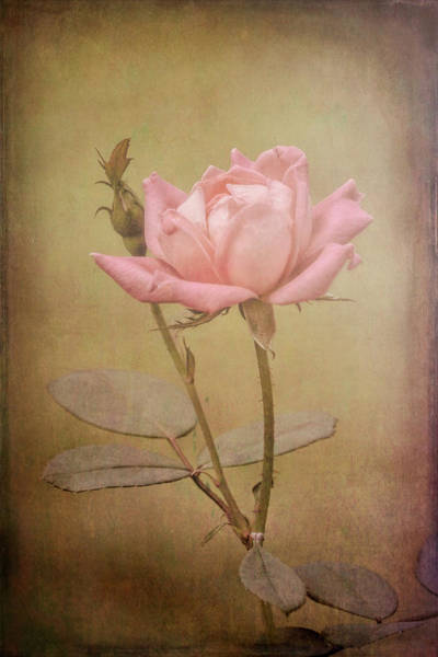 Photograph - Rose 2 by Patricia Cale