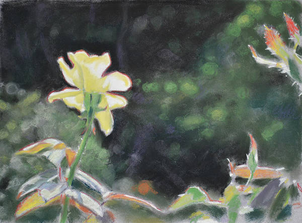 Pastel - Rose 37 by Christopher Reid