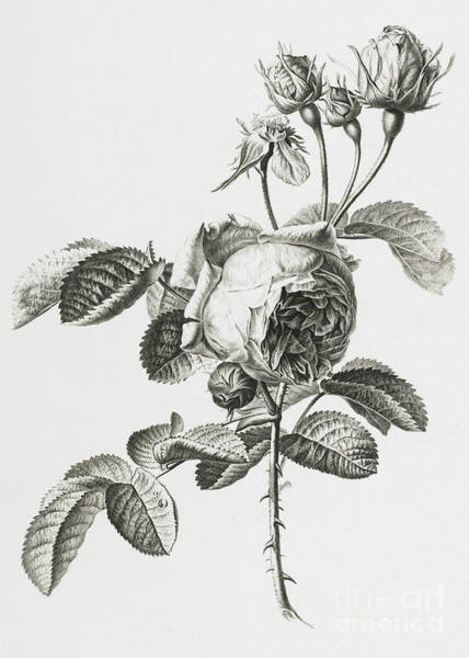 Colored Pencil Drawing Drawing - Rose A Cent Feuilles by Gerard van Spaendonck