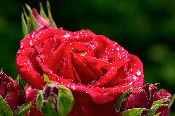Photograph - Rose After Rain by Leif Sohlman