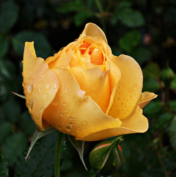 Pdx Photograph - Rose After The Rain by Cathie Tyler