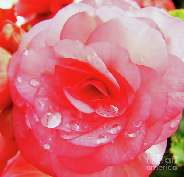 Hackett Photograph - Rose After The Rain by D Hackett