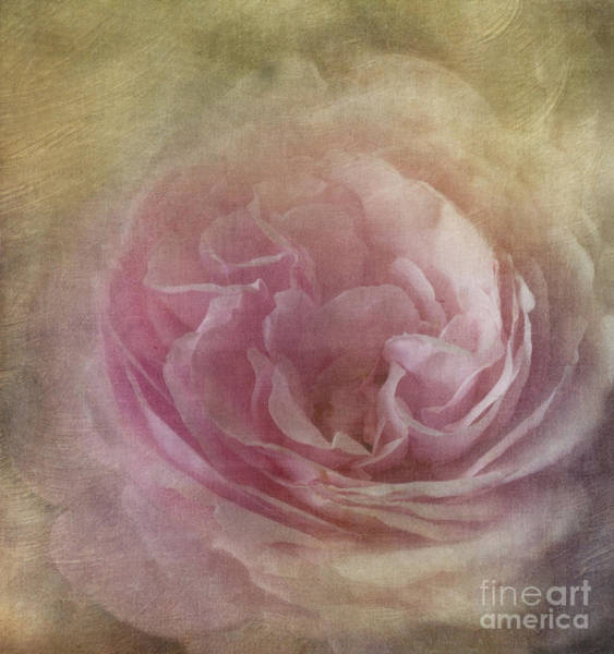 Photograph - Rose by Ann Jacobson