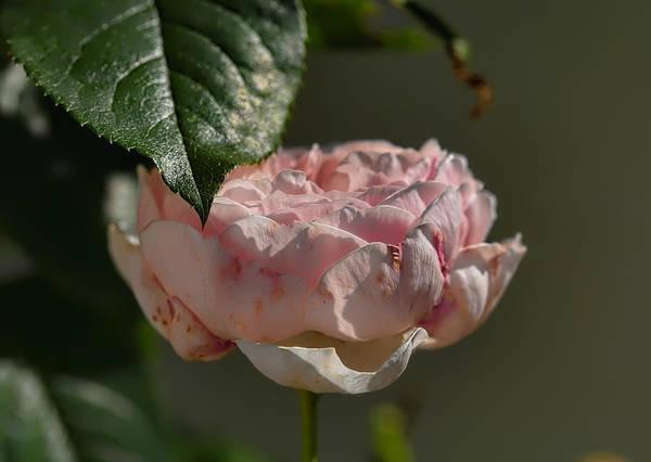 Photograph - Rose Ans Leaf by Leif Sohlman