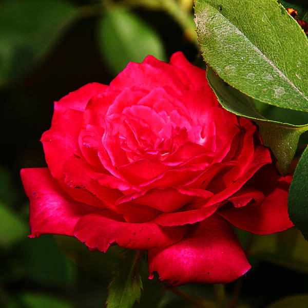 Photograph - Rose by Anthony Jones