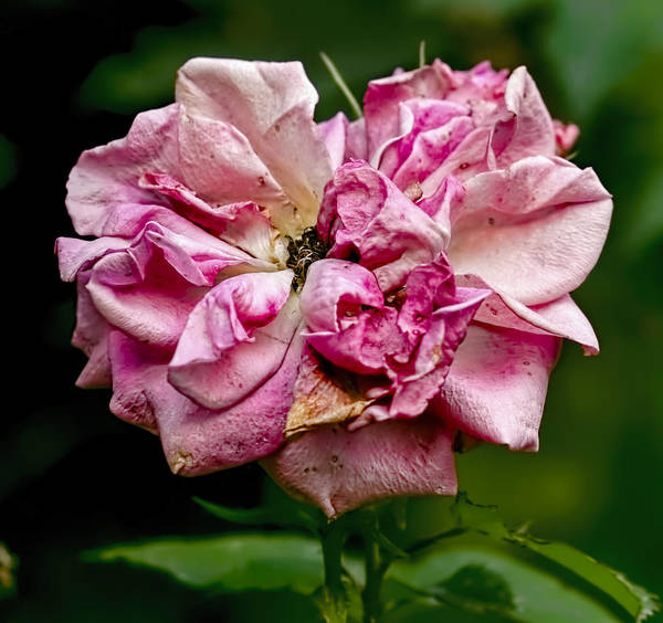 Photograph - Rose August  by Leif Sohlman