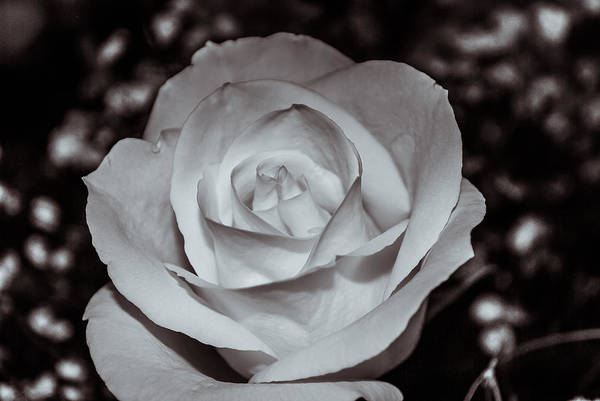 Photograph - Rose B/w - 9166 by G L Sarti